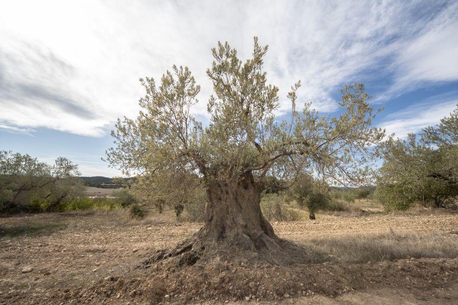 Oleorutas Bajo Aragón y Matarraña